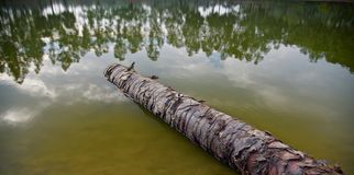 A dead tree parts fallen in the water of a lake. Brown dead tree parts around a lake water unique photo stock photo