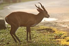 Brown deer Royalty Free Stock Photography