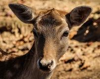 Brown Deer Stock Photography