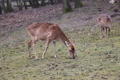 A brown deer without antlers eating grass and some special flowers. A brown deer without antlers eating grass and some sprouts royalty free stock photos