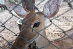 Brown deer Stock Photos