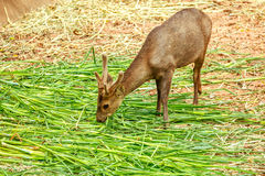Brown deer eating grass in zoo.  Royalty Free Stock Photo