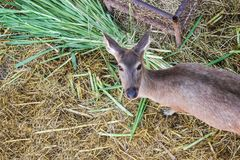 Brown deer female full grown at eat grass fresh and hay in natural park. royalty free stock photo