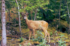 Brown Deer in Forest Royalty Free Stock Images