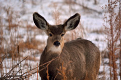 Brown Deer with Large Ears in the Winter with Snow.  Stock Photos
