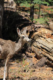 Brown deer. A brown deer looking towards the camera stock photography