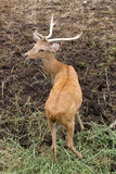 Brown Deer Park is open to the background soil. Stock Photos