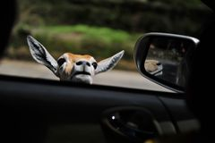 The brown deer is peeking beside the car window royalty free stock photography