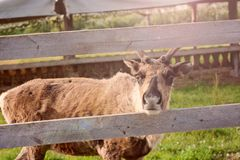 Brown deer in the pen royalty free stock images