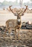 Brown deer Stock Images