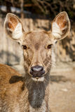 Brown deer Stock Photo