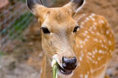 Brown Deer Standing eye looking for royalty free stock images