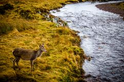 Brown Deer Standing on Grass Beside River during Daytime Royalty Free Stock Image