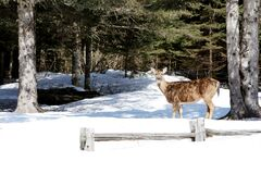 Brown Deer Standing Near Tree Trunk Duringwinter Stock Image