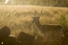 Brown Deer Surrounded by Grass during Sunset Stock Images