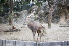 Brown deer at zoo Royalty Free Stock Photos