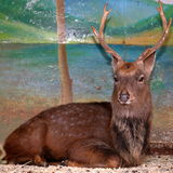 Brown deer in zoo cage Stock Photos