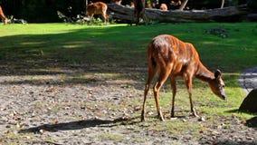 Brown deers feeding on grass in field stock video footage