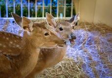 Brown deers staring eyes. Closeup brown deers staring eyes in a stall Royalty Free Stock Image