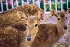 Brown deers staring eyes in a stall. Travel in a zoo Royalty Free Stock Photos