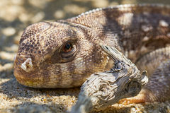 Brown desert lizard Royalty Free Stock Photo