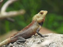Brown desert lizard resting on a rock royalty free stock photos