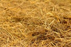 Brown di paglia di riso nel campo Fotografie Stock Libere da Diritti