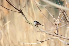 Long-tailed Tit or Long-tailed Bushtit stock photography