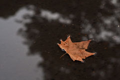 Brown dired maple leaf floating on a shallow pond in Autumn Royalty Free Stock Images