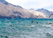 Brown a dirigé la mouette volant au lac Pangong ou à la TSO de Pangong, jeune homme Photos libres de droits
