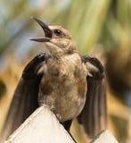 Brown a dirigé le Cowbird poussant des cris rauques Photographie stock libre de droits