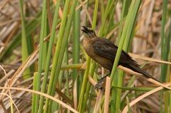Brown a dirigé le Cowbird poussant des cris rauques Photo libre de droits
