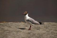 Brown dirigiu a gaivota, brunnicephalus de Chroicocephalus, Pangong, Jammu e Caxemira, Índia fotos de stock