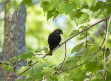 Brown dirigiu o Cowbird Fotos de Stock Royalty Free