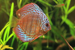 Brown discus Stock Photo