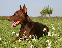 Brown doberman. Purebreed brown doberman in the grass, down, attentive Royalty Free Stock Photos