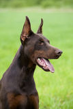 Brown doberman Zdjęcia Stock