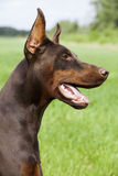 Brown doberman Obrazy Royalty Free