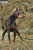 Brown Doberman Stock Image