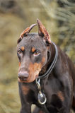 Brown Doberman Stock Images