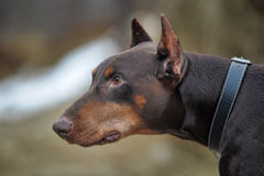 Brown Doberman Royalty Free Stock Image