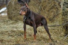 Brown Doberman. Close-up portrait of  purebred brown Doberman Stock Images