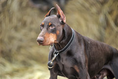 Brown Doberman Royalty Free Stock Images