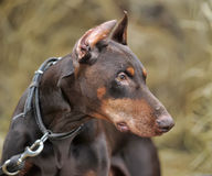 Brown Doberman Royalty Free Stock Photography