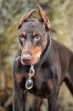 Brown Doberman Royalty Free Stock Photo