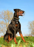 Brown doberman dog with muzzle Stock Image