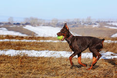 Brown Doberman dog playing with a ball Royalty Free Stock Images