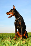Brown doberman dog Royalty Free Stock Photography