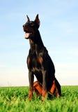 Brown doberman dog Royalty Free Stock Photo