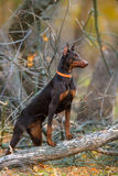Brown doberman in forest Royalty Free Stock Photos